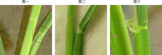 水稻千金子图片